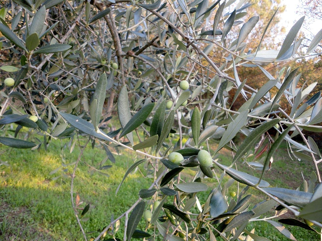 le-balze-unique-olive-olio-adopt