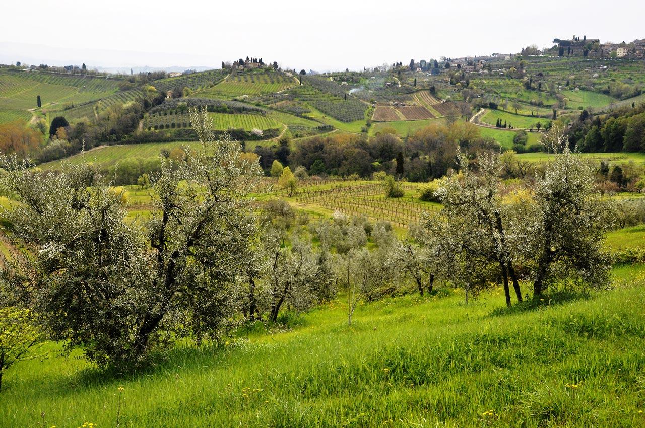 le_balze_olive_trees